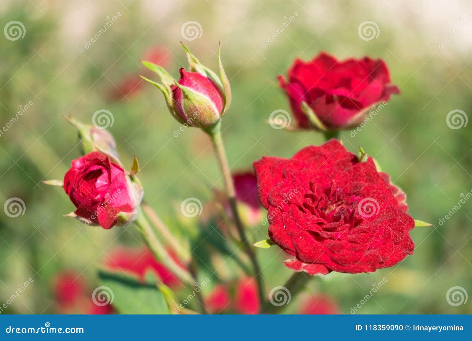 Red Cascade miniature rose bred. Close up of red mini roses, Pygmy Rose. Dark red blooming cultivar miniature rose (Rosa) in