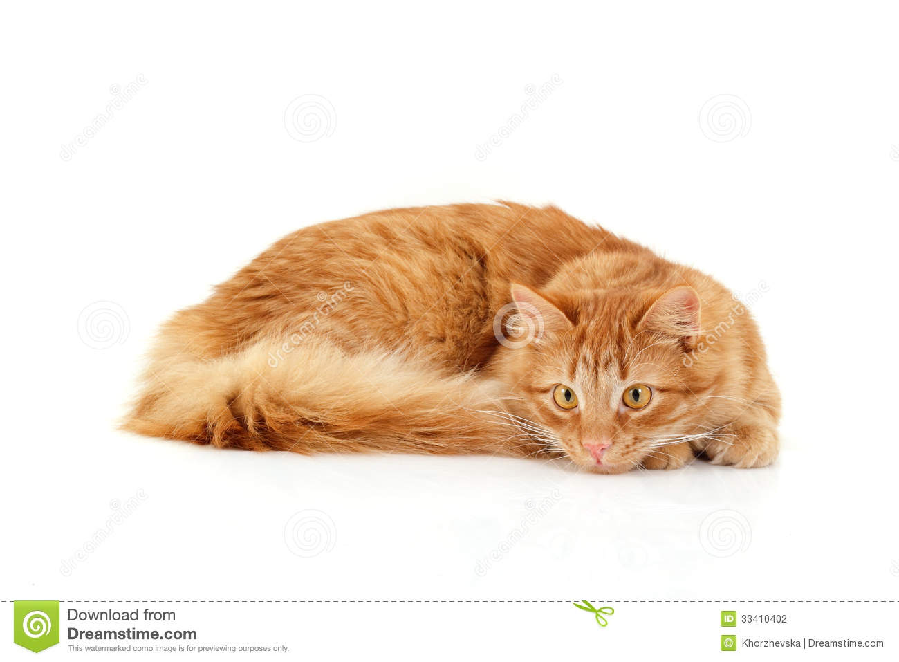 Red Cat Attention Lying Down Isolated On White Stock Photography Image 33410402