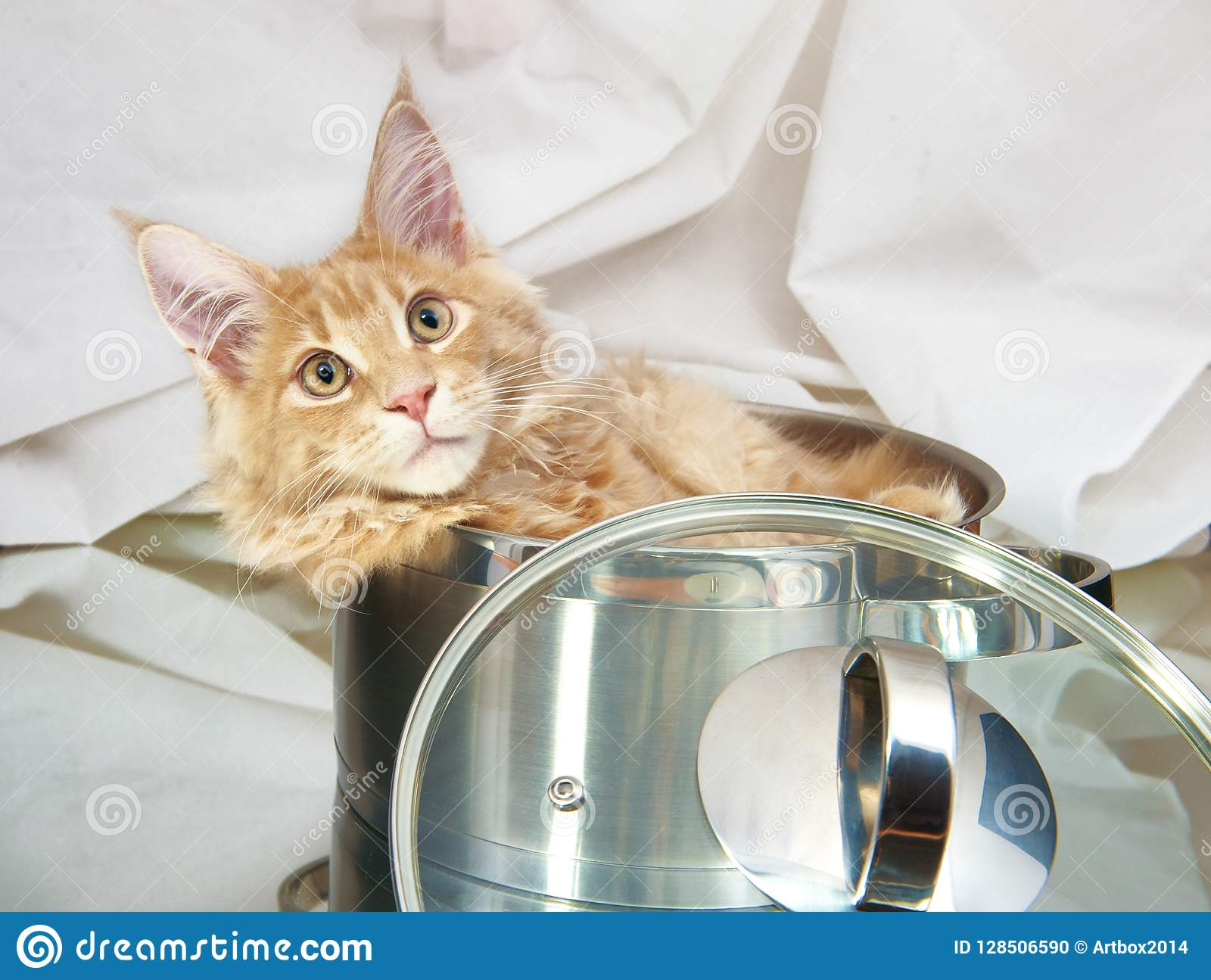Cat Maine Coon in pan