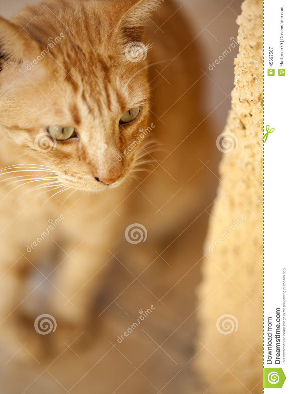 A Red Cat Peeking Around The Corner Stock Photo - Image ...