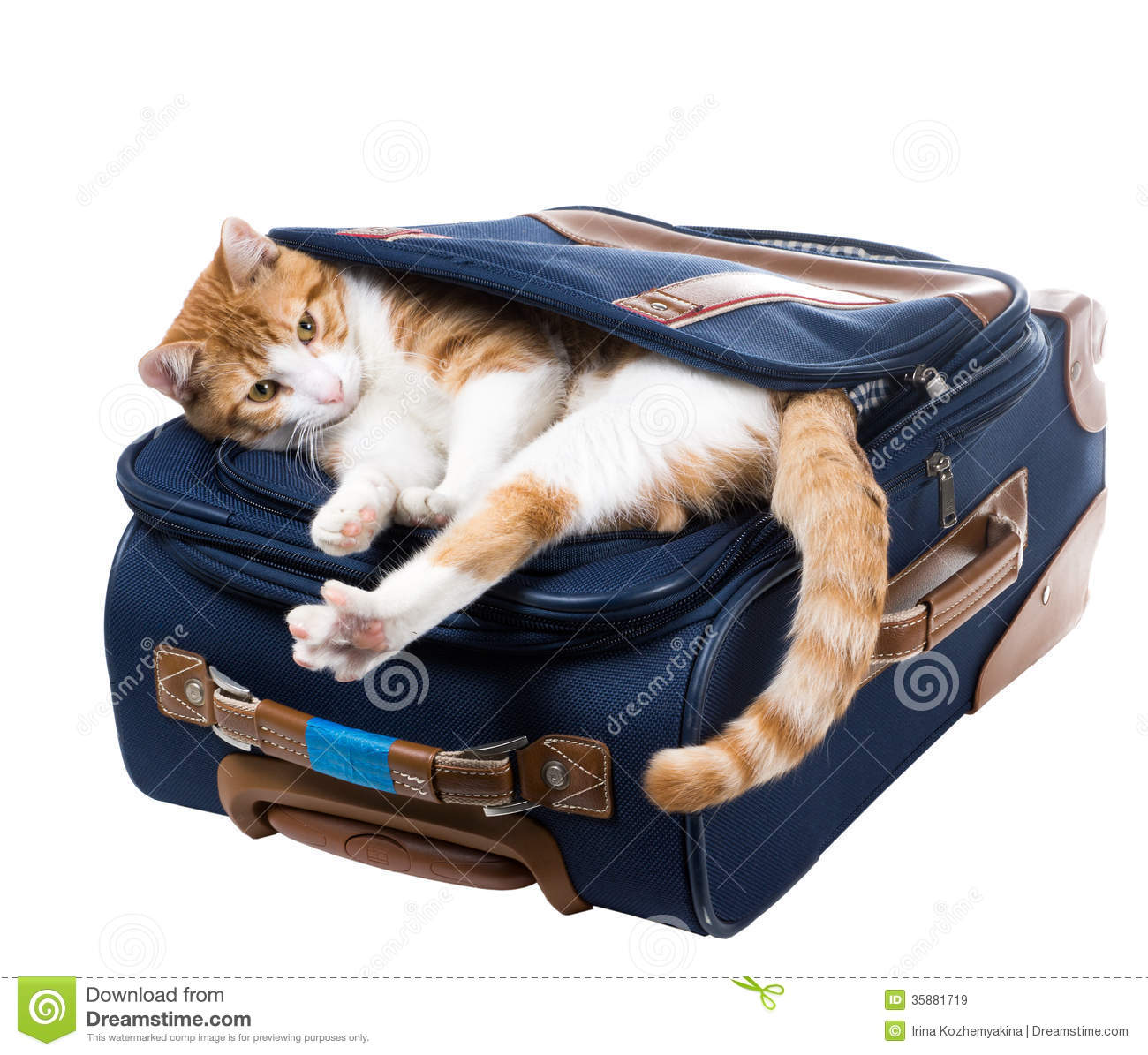 red cat is in a pocket and stretches suitcase royalty free