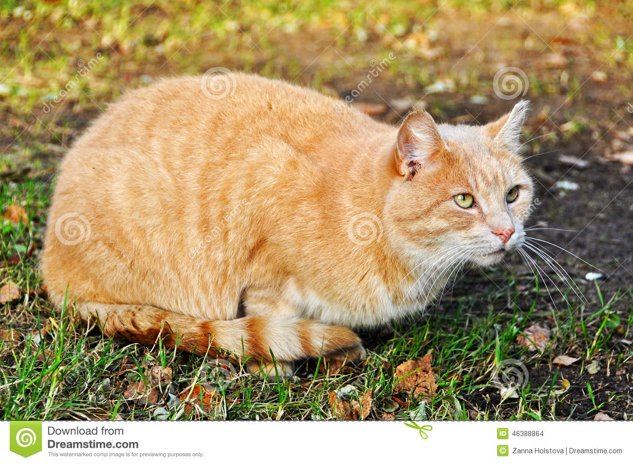 red cat sand color stock photo image of sickness colorful 46388864
