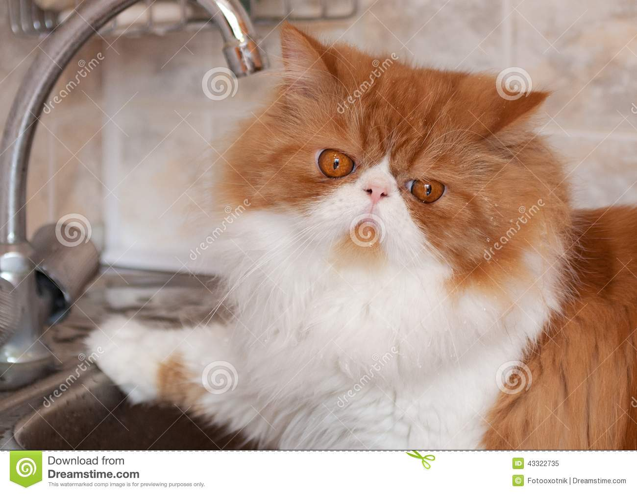 red cat with water droplets on a muzzle stock photo - image: 43322735