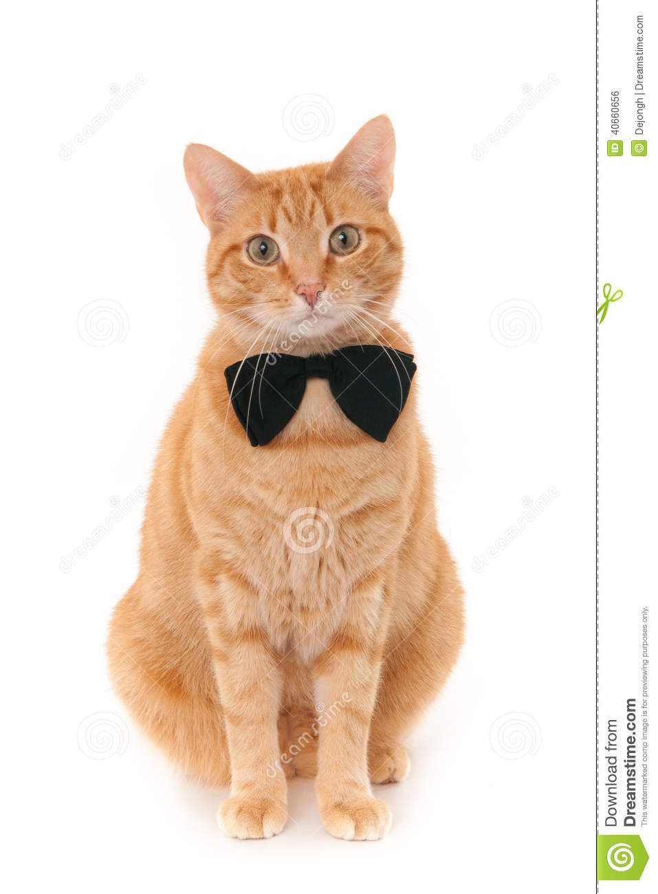 Sitting ginger cat with a black bow tie, isolated on a white ...