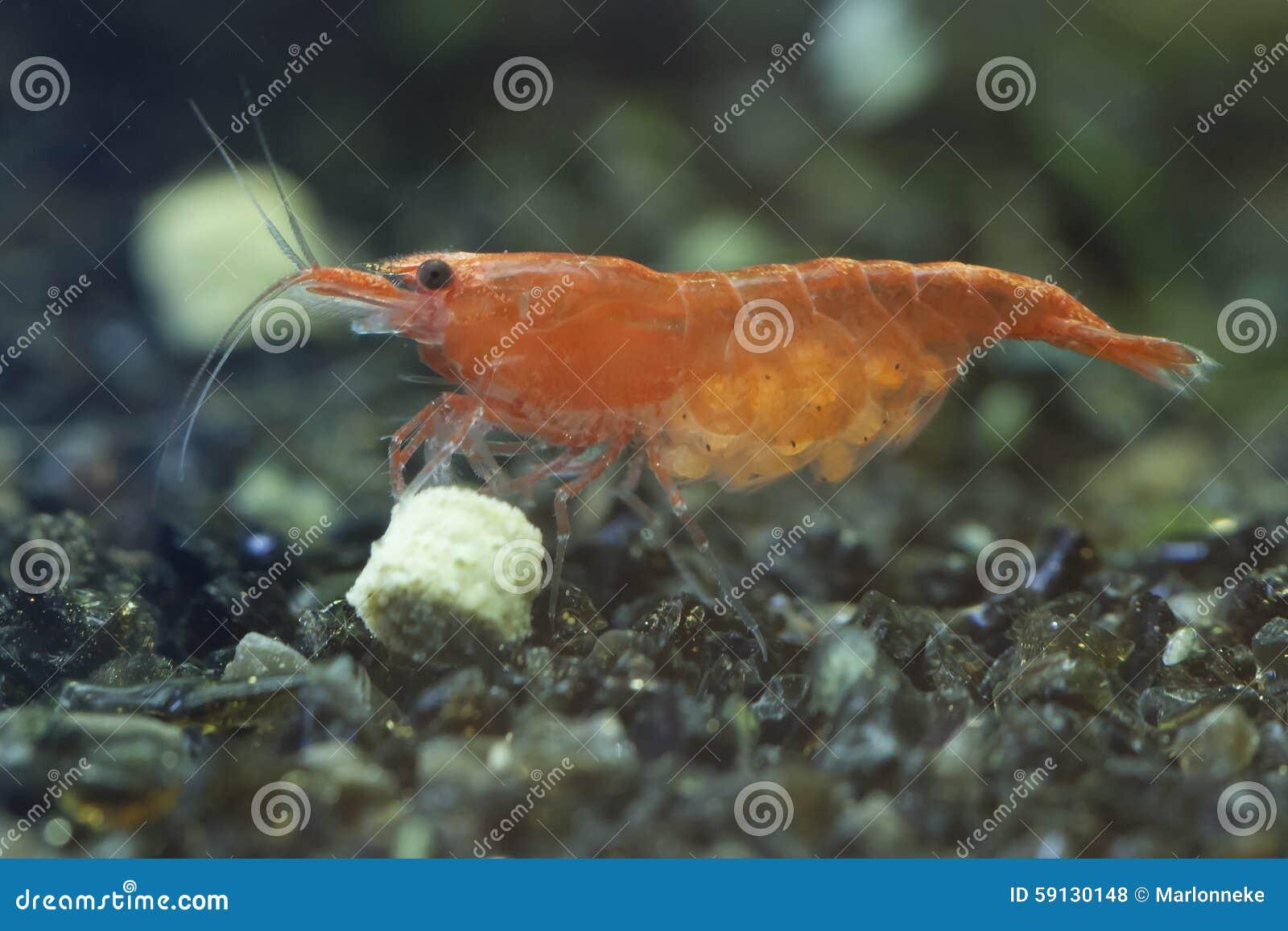 Red Cherry Shrimp Stock Photo Image Of Crustacean Decapoda 59130148