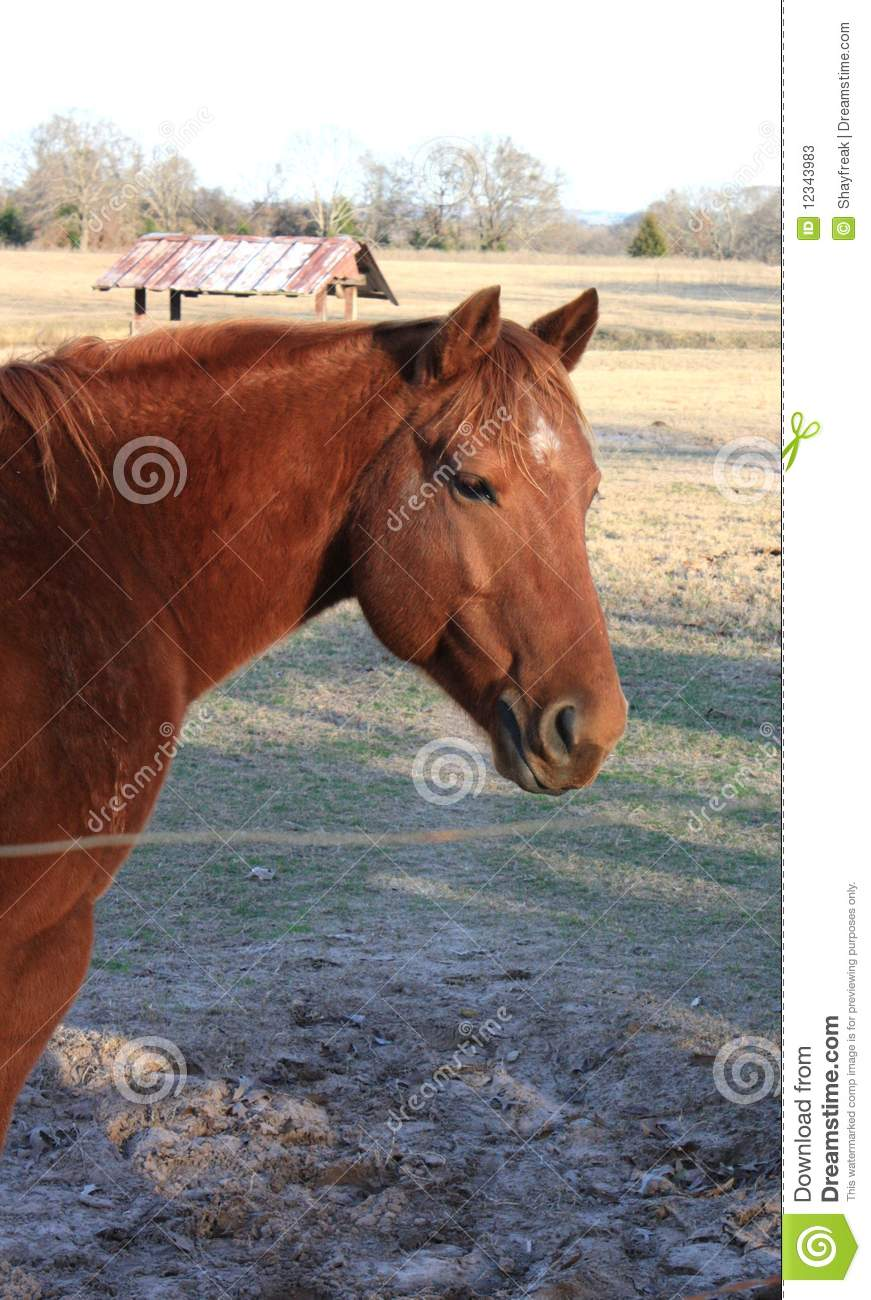 red chestnut gelding quarter horse stock photos image
