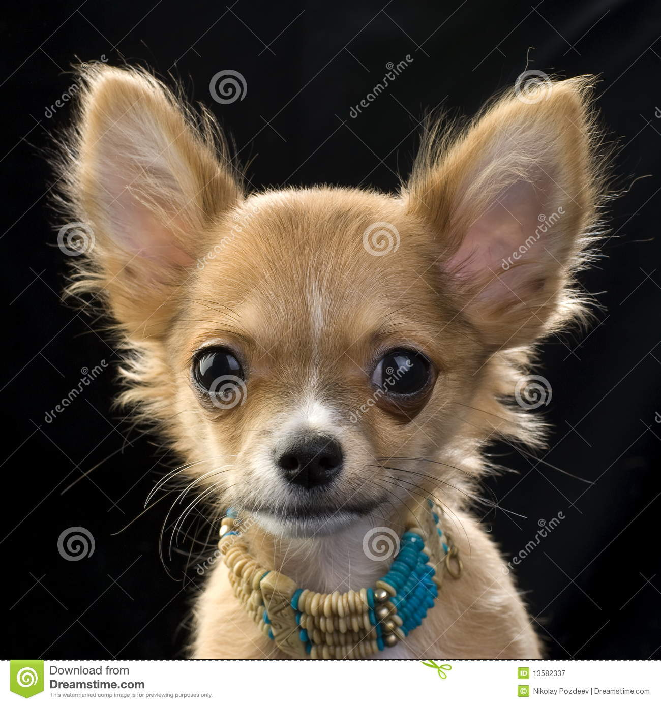 Red Chihuahua Puppy With A Necklace Portrait Stock Image