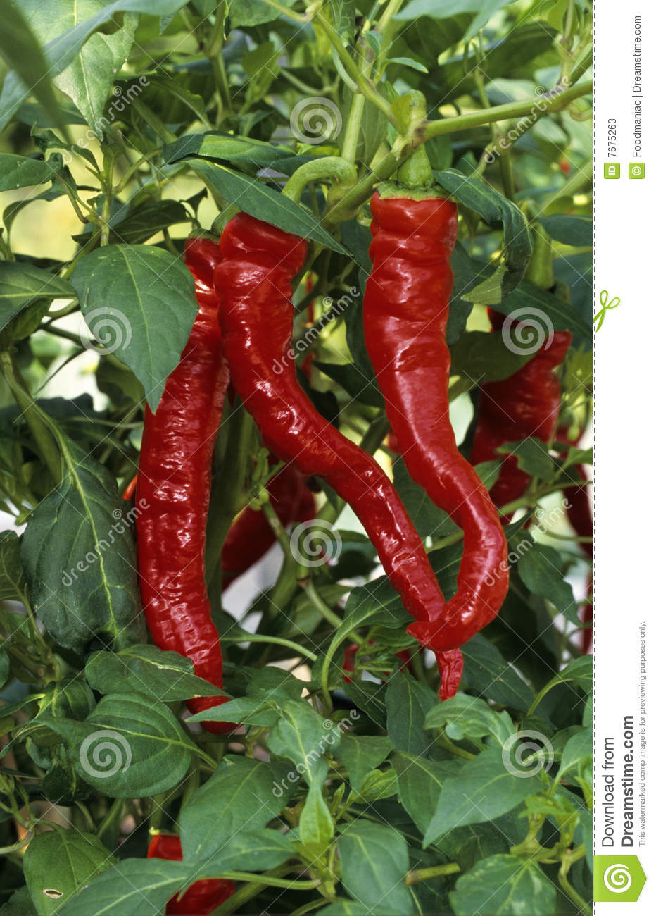 Red Chili Pepper Stock Photos - Image: 7675263