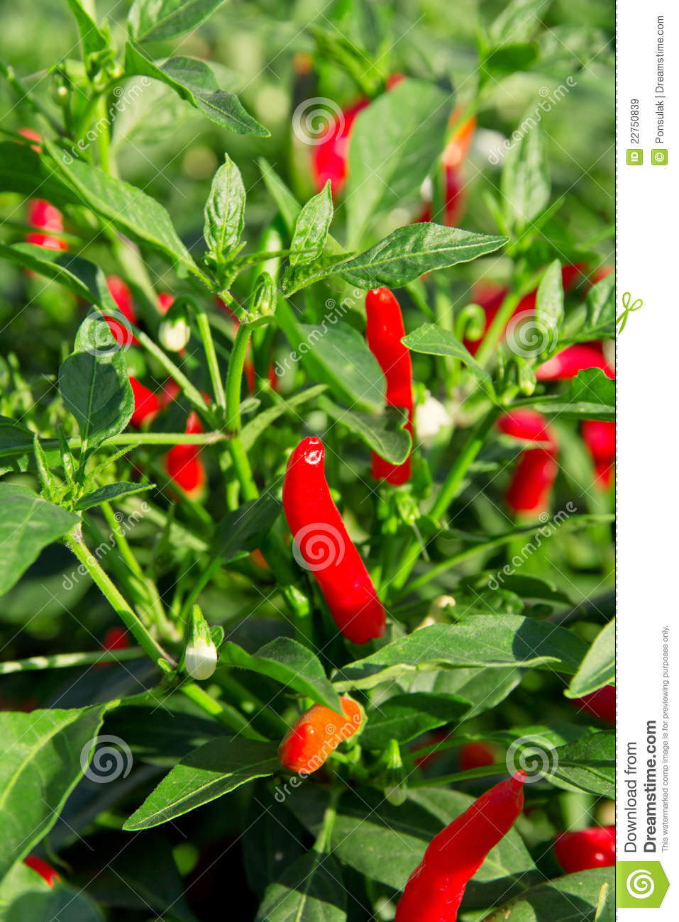 Red Chilli Pepper Plant Royalty Free Stock Images - Image ...