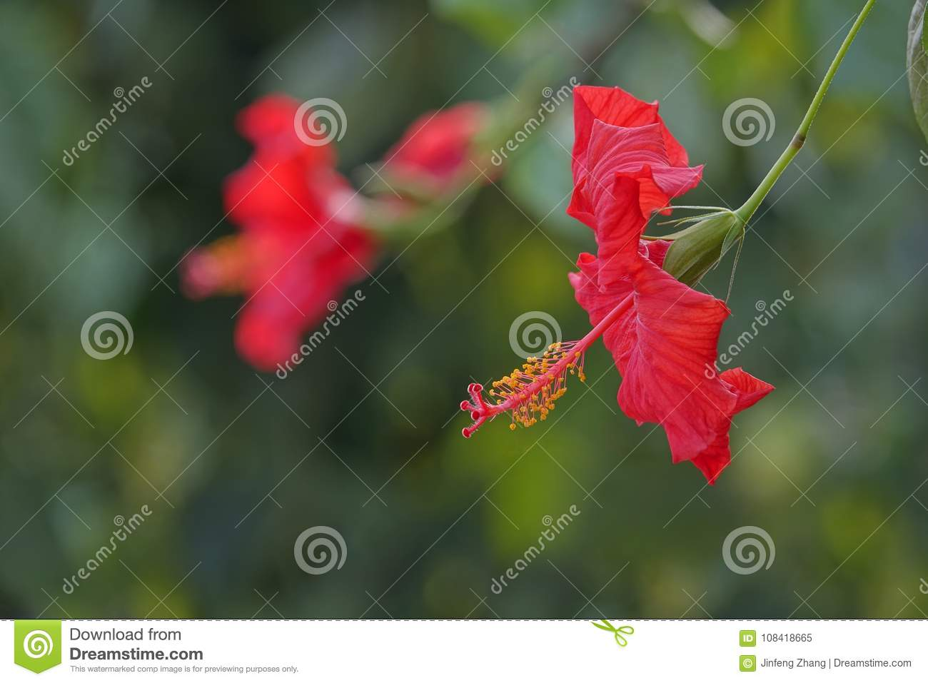 Red chinese hibiscus flower stock image image of sinensis jaba red chinese hibiscus flower izmirmasajfo