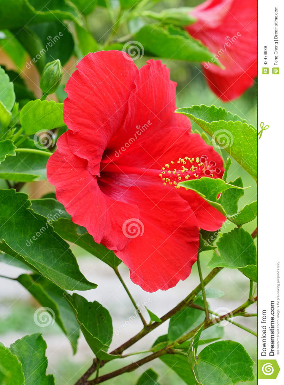 Red Chinese Hibiscus Flower Stock Image Image Of Mini Flowering