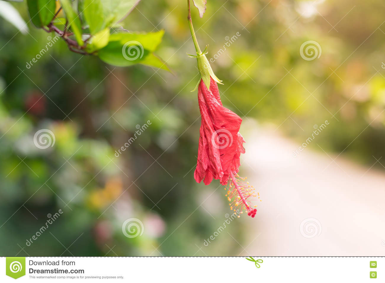 Red chinese rose shoe flower or a flower of red hibiscus with green royalty free stock photo izmirmasajfo Image collections