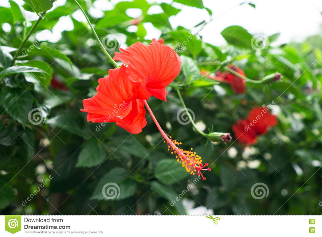 Red chinese rose shoe flower or a flower of red hibiscus with green red chinese rose shoe flower or a flower of red hibiscus with green leaves izmirmasajfo