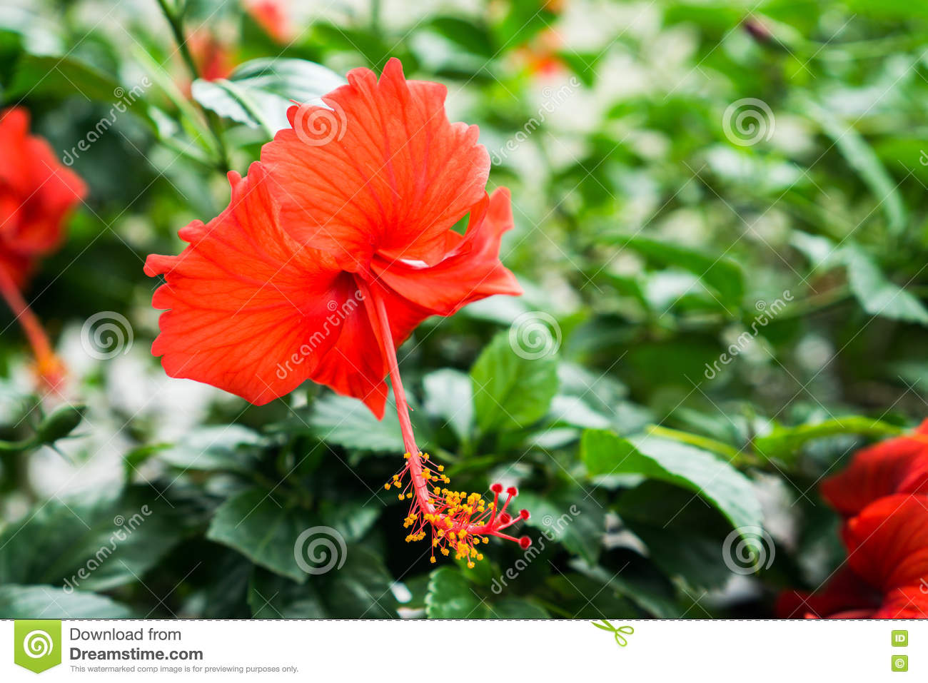 Red chinese rose shoe flower or a flower of red hibiscus with green red chinese rose shoe flower or a flower of red hibiscus with green leaves scientific name as hibiscus rosa sinensis l izmirmasajfo