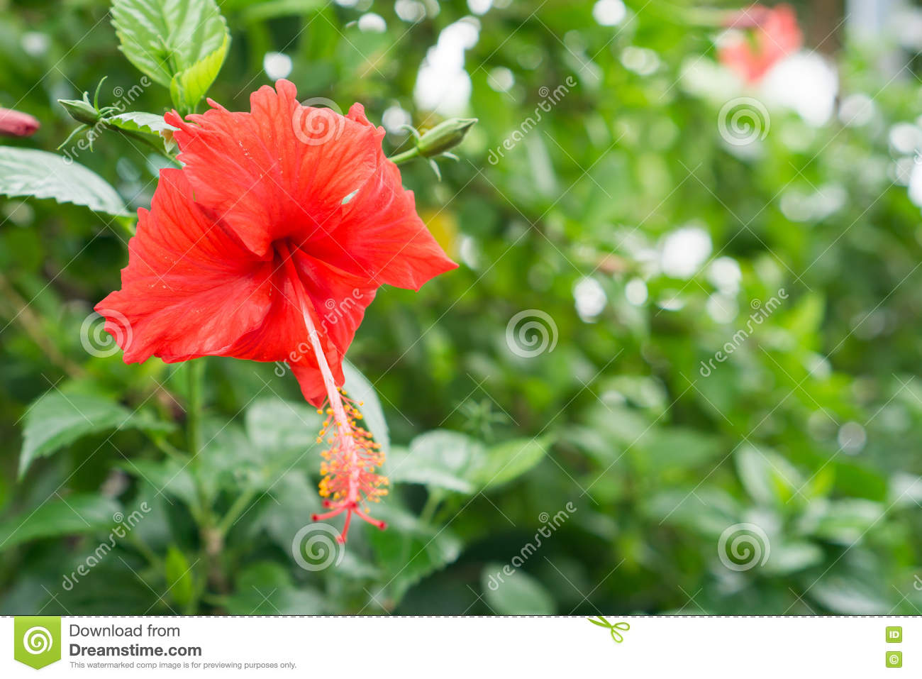 Red chinese rose shoe flower or a flower of red hibiscus with green download comp izmirmasajfo