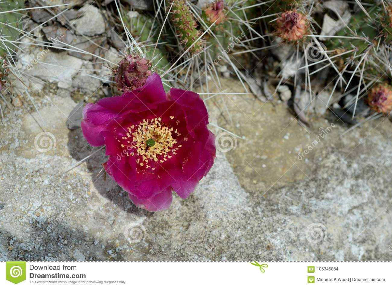 Red Cholla Cactus Blossom in Rock Garden