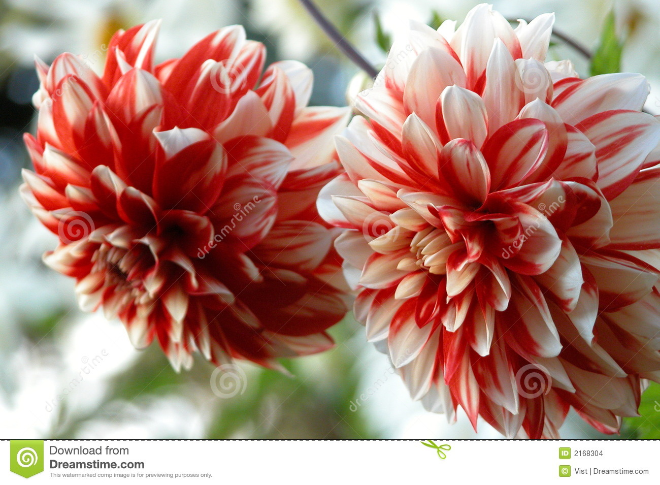 Red Chrysanthemums Stock Images - Image: 2168304