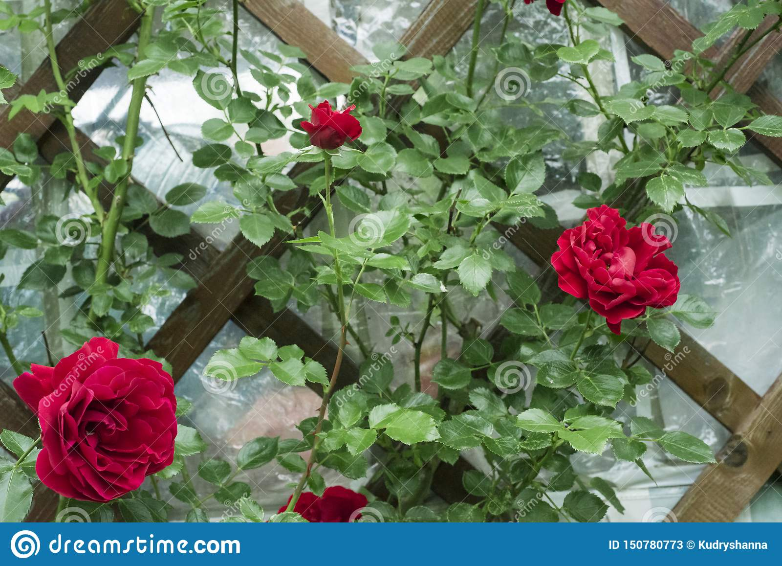 Zephirine Drouhin Climbing Rose red climbing rose curls on the wall in the garden on the
