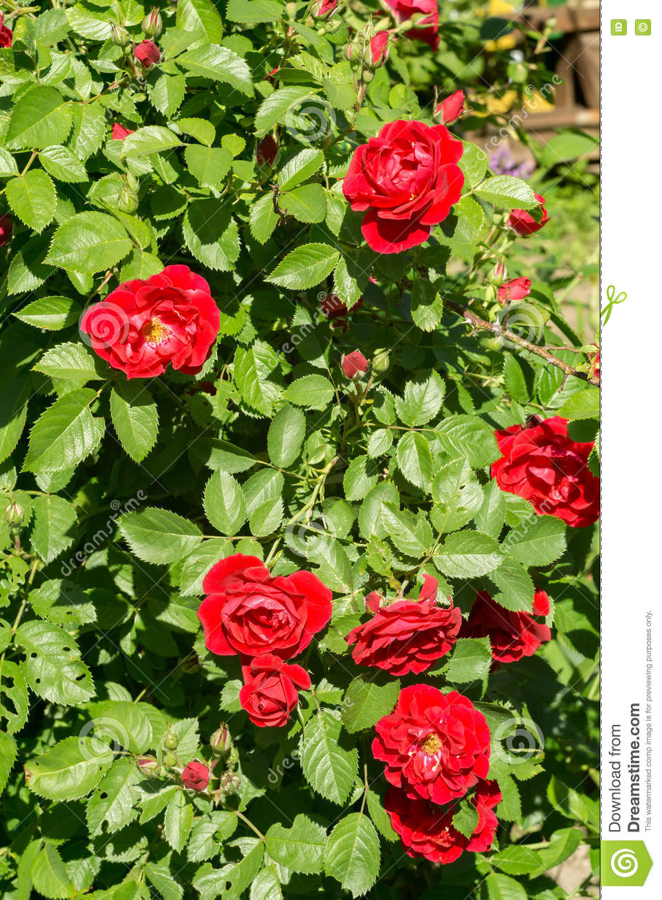 Red Climbing Rose Stock Image Image Of Colorful Nature 70823891