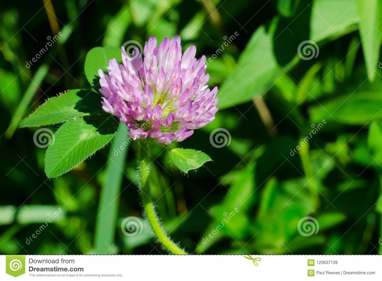 Download Red Clover - Trifolium Pratense Stock Image - Image of america, horticulture: 120637139