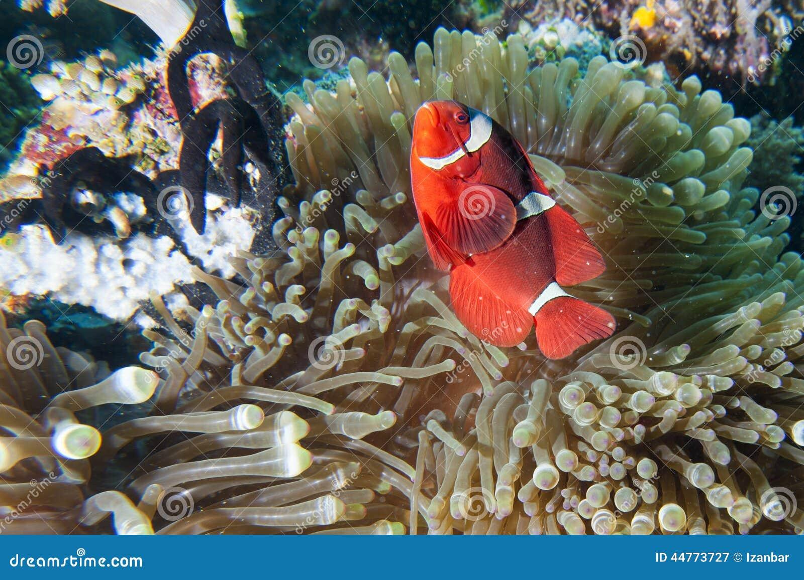 Red Clown fish in anemone Raja Ampat Papua