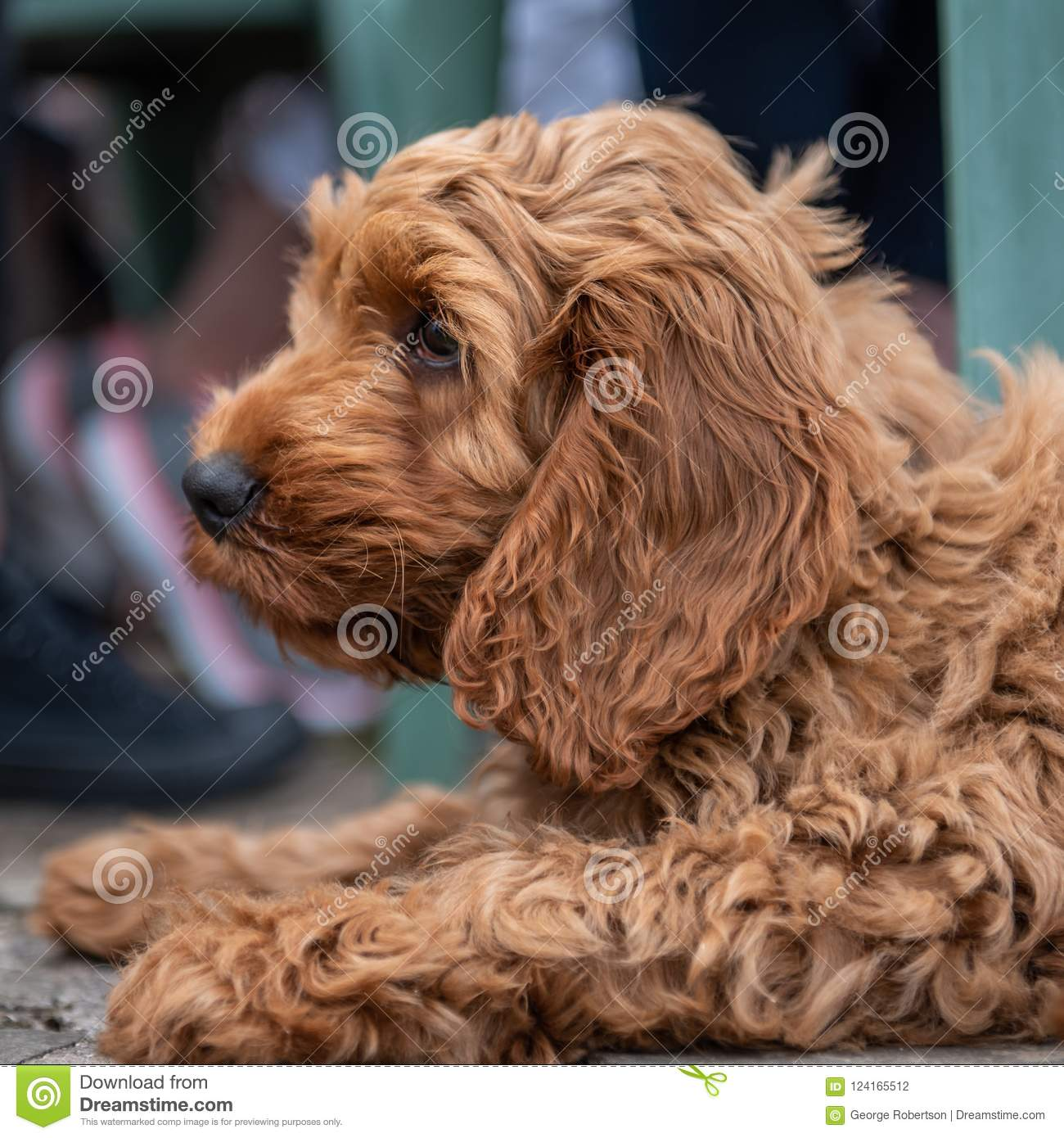 Red Cockapoo Puppy Lying Down In Garden Stock Photo Image Of Animal Adorable 124165512
