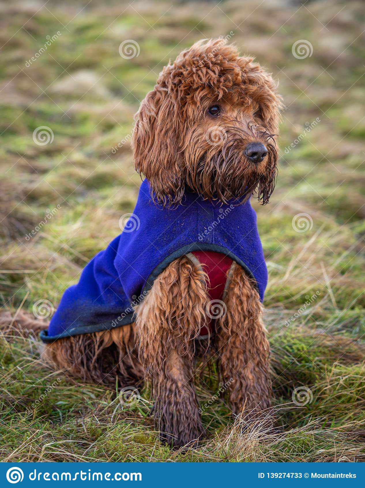 Red Cockapoo Puppy Sitting Outdoors Stock Image Image Of Adventure Face 139274733