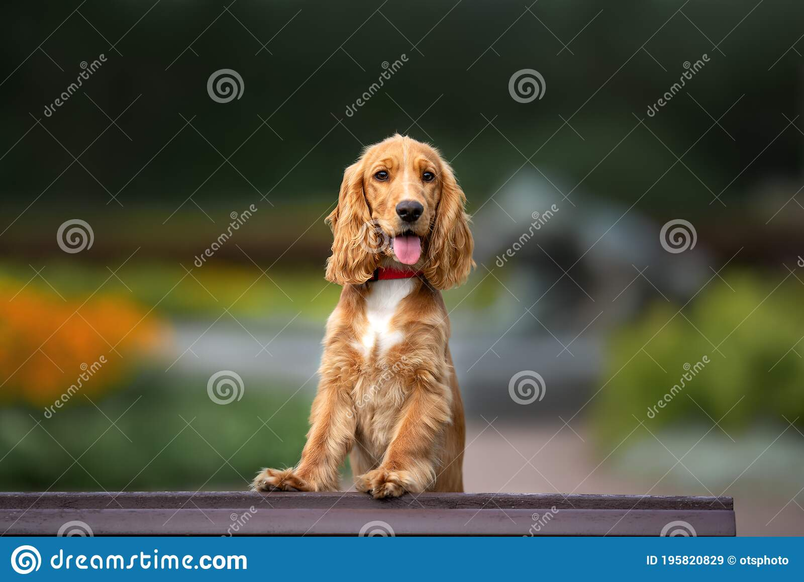 Red Cocker Spaniel Puppy Posing In The Park In Summer Stock Image Image Of Happy Park 195820829