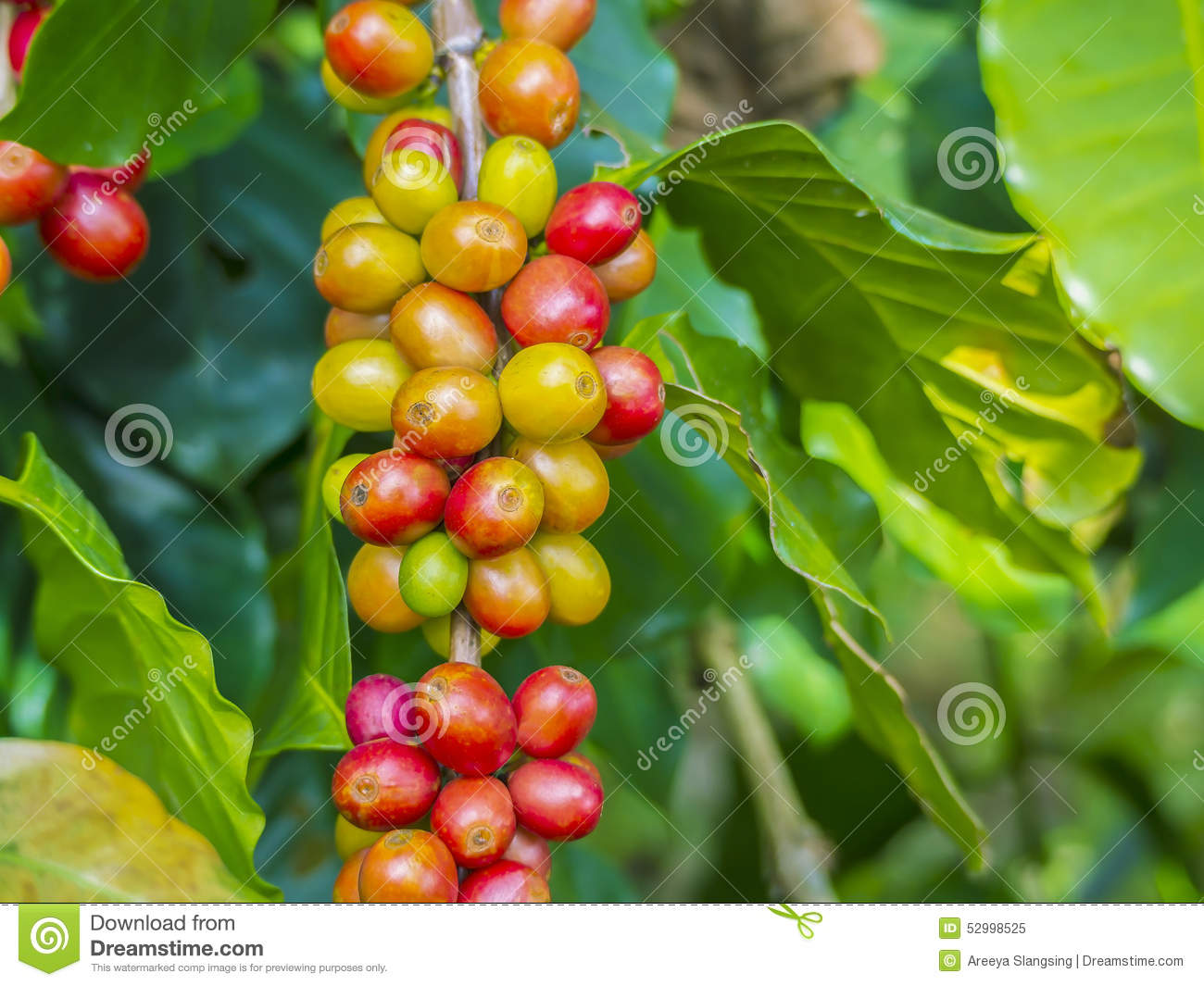 Red Coffee Beans On A Branch Of Coffee Tree, Ripe And Unripe