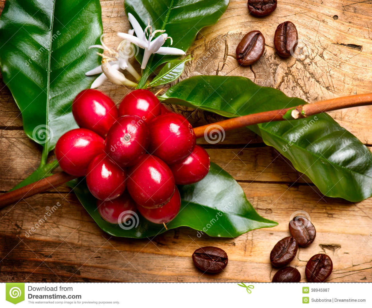 Red coffee beans on a branch