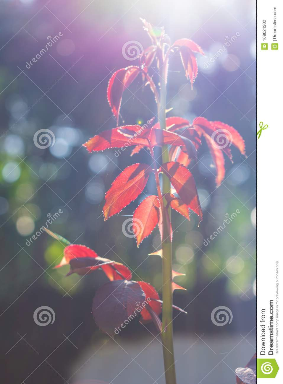 Red color leaves brighten by sunlight
