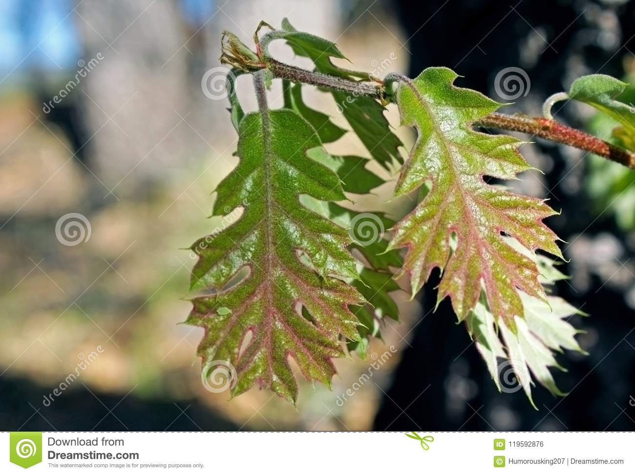 Red And Green Color Young Leaf Of California Black Oak Stock Photo
