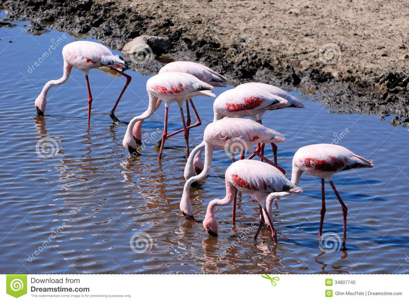 Red colored Flamingos in a lake in Serengeti Tanzania