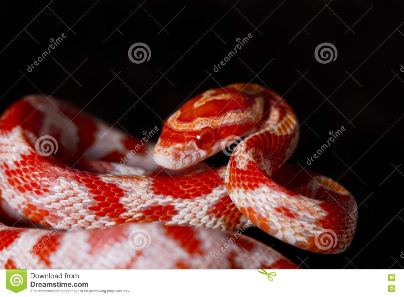 Red Corn Snake Stock Image - Image: 24103551