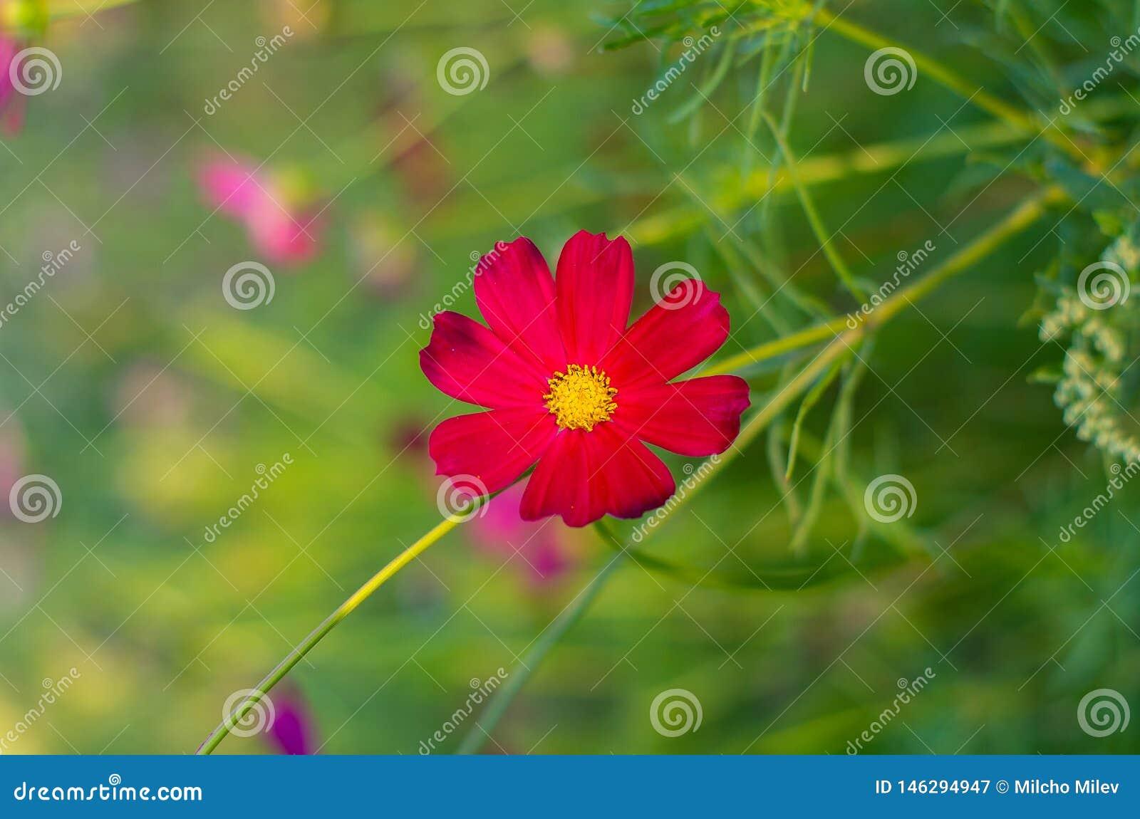 Red cosmos flowers garden. Cosmos flowers blooming in the garden