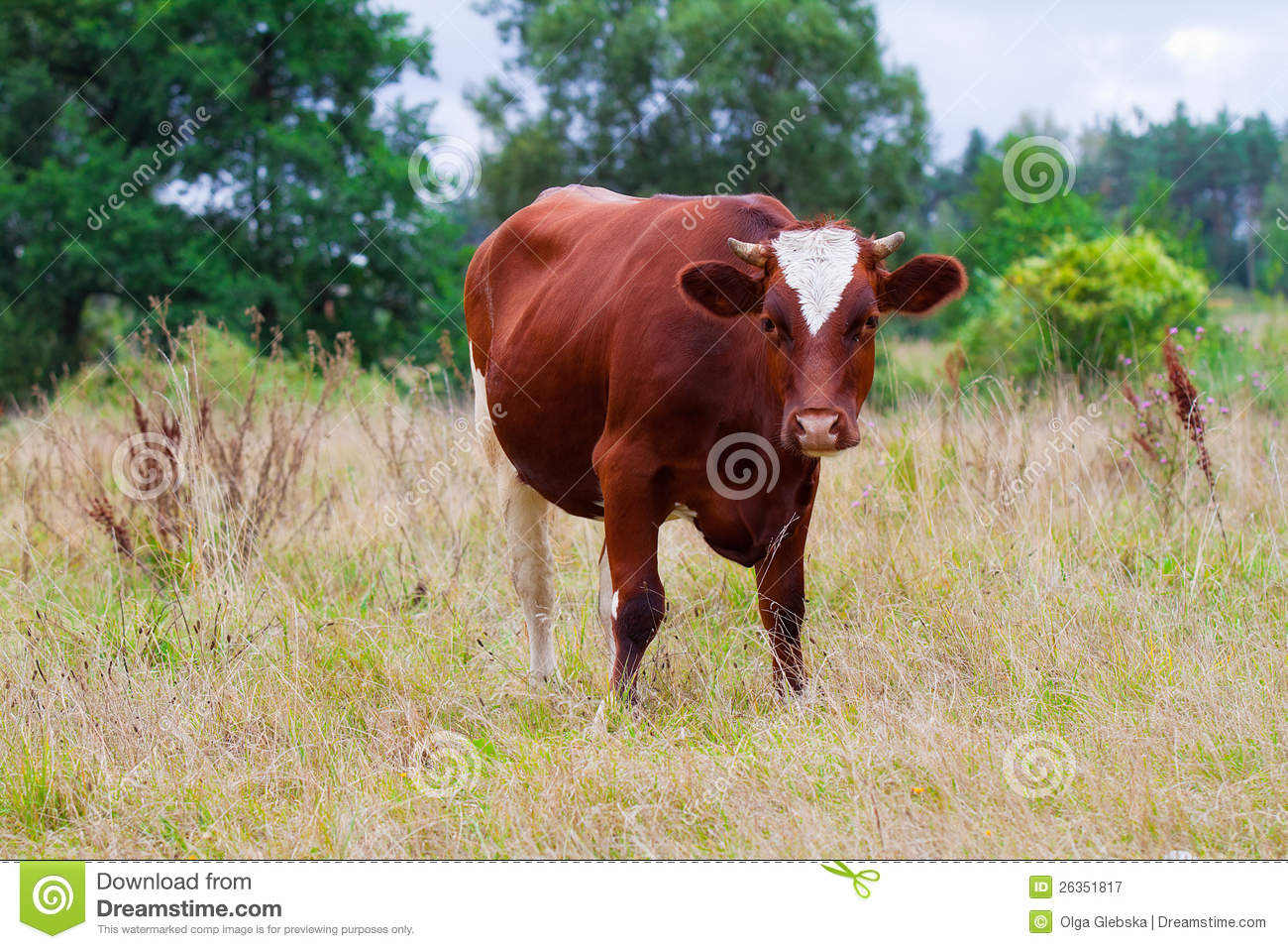 Cow on green pasture with red barn with grain silo royalty free stock - Royalty Free Stock Photo Cow Pasture Red