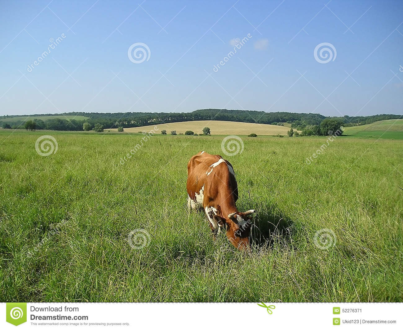 Cow on green pasture with red barn with grain silo royalty free stock - Red Cow In The Pasture Eating Grass Green