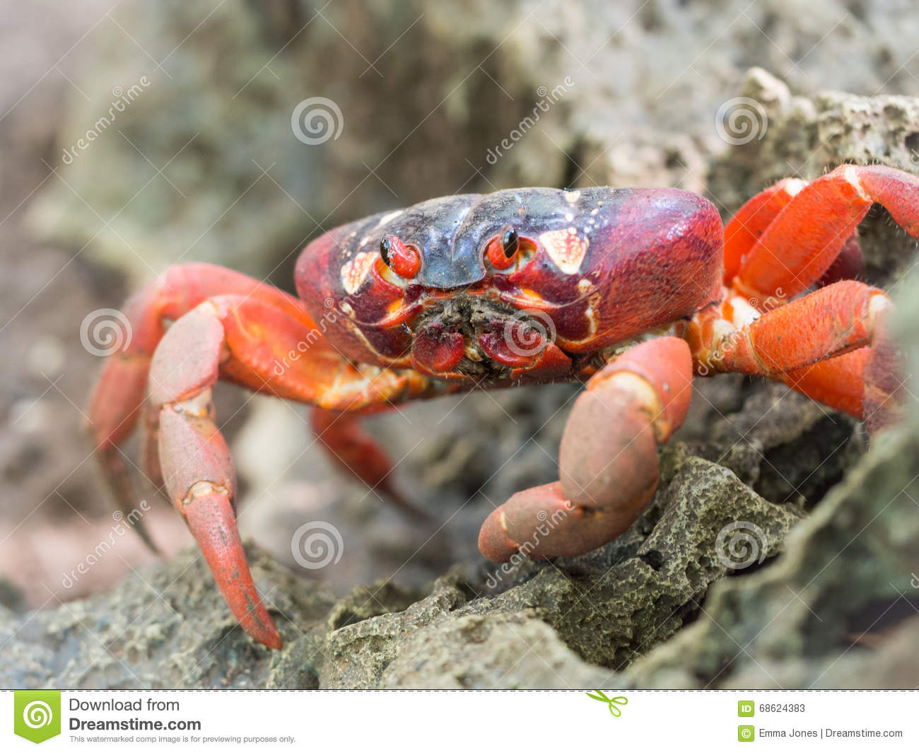 Download Red Crab (Gecarcoidea Natalis), Christmas Island, Australia Stock Image - Image of island, holiday: 68624383