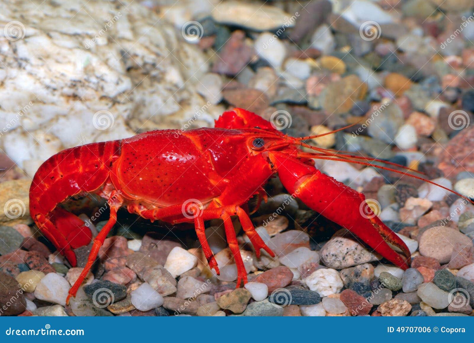 Red crayfish stock photo. Image of crayfish, claw ...