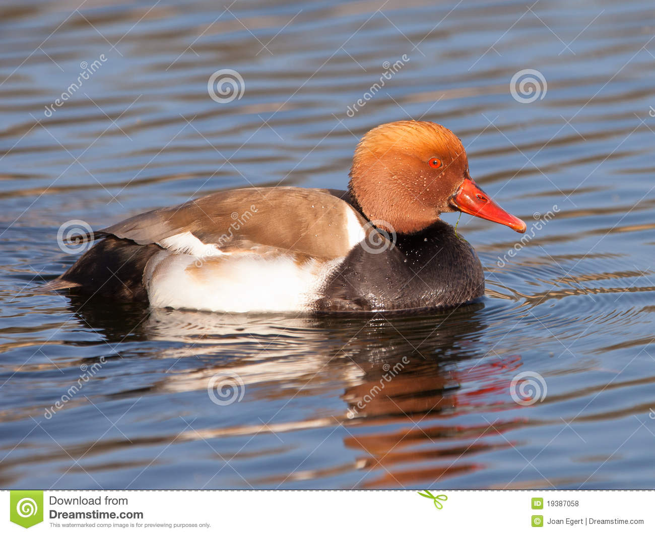 The Red-crested Pochard