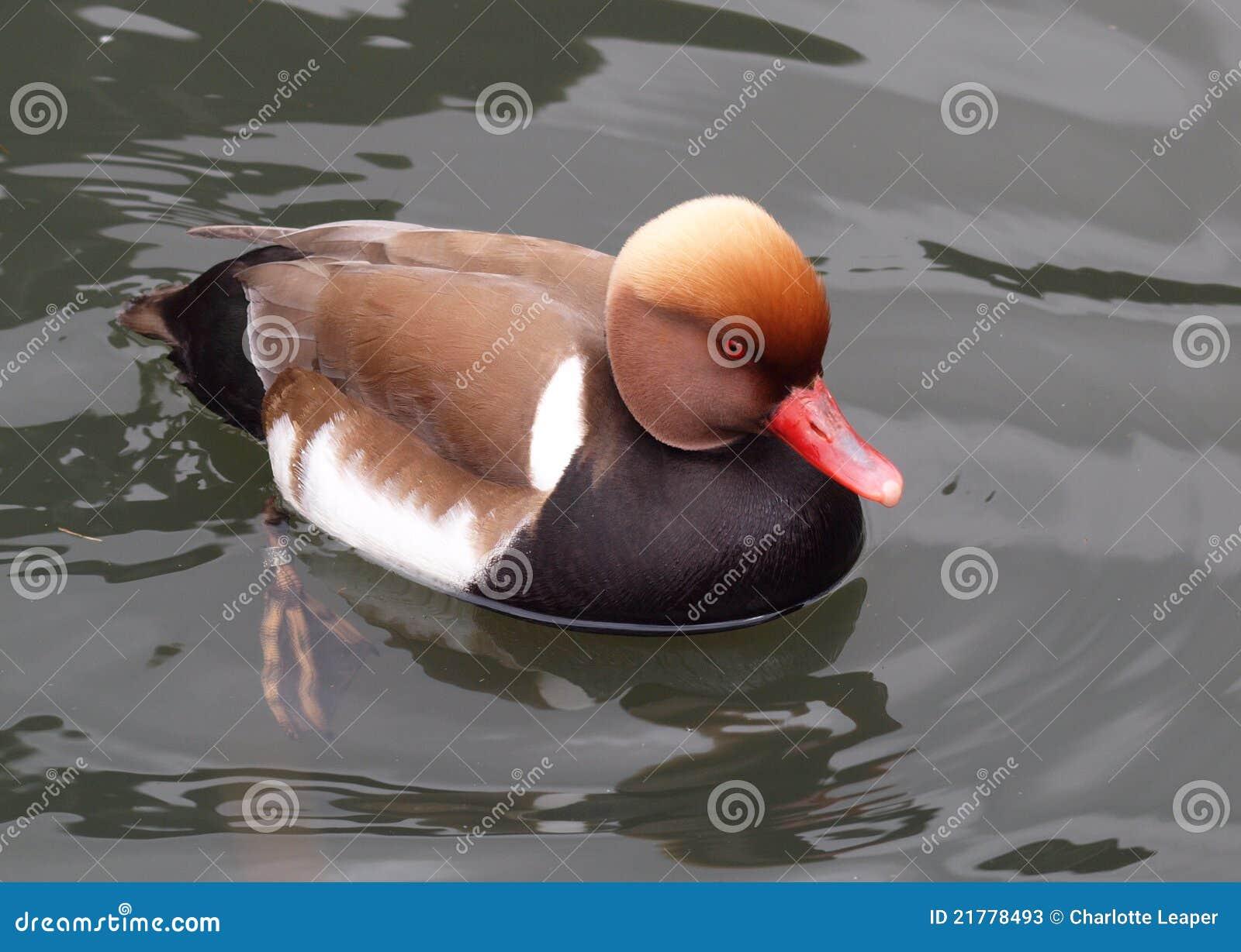 Red Crested Pochard Duck