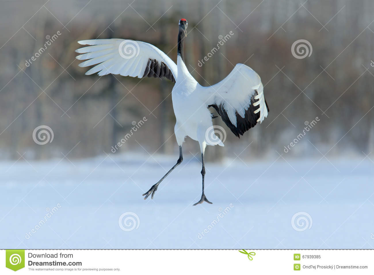 Red-crowned crane, Grus japonensis, flying white bird with open wing, with snow storm, winter scene, Hokkaido, Japan
