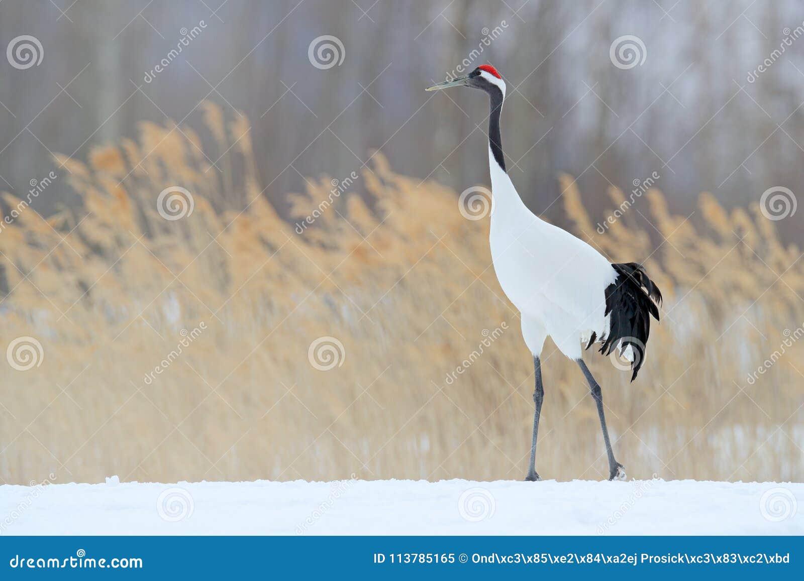 Red-crowned crane in snow meadow, with snow storm, Hokkaido, Japan. Bird walking in snow. Crane dance in nature. Wildlife scene f