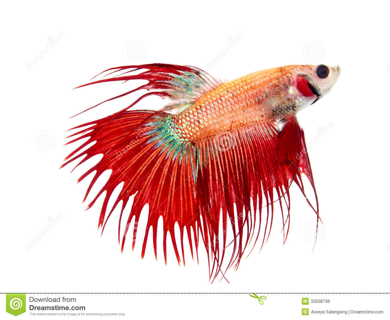 Red crowntail betta for Crowntail betta fish