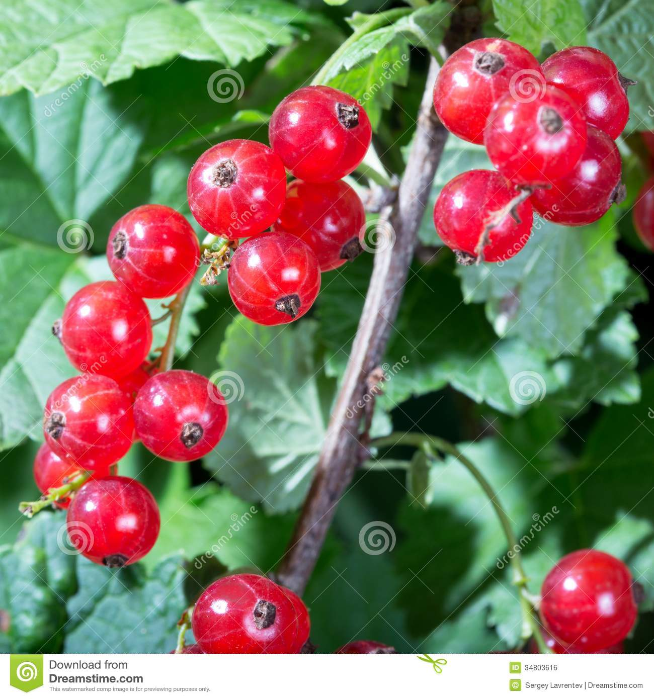 Red Currant Berries Royalty Free Stock Image - Image: 34803616