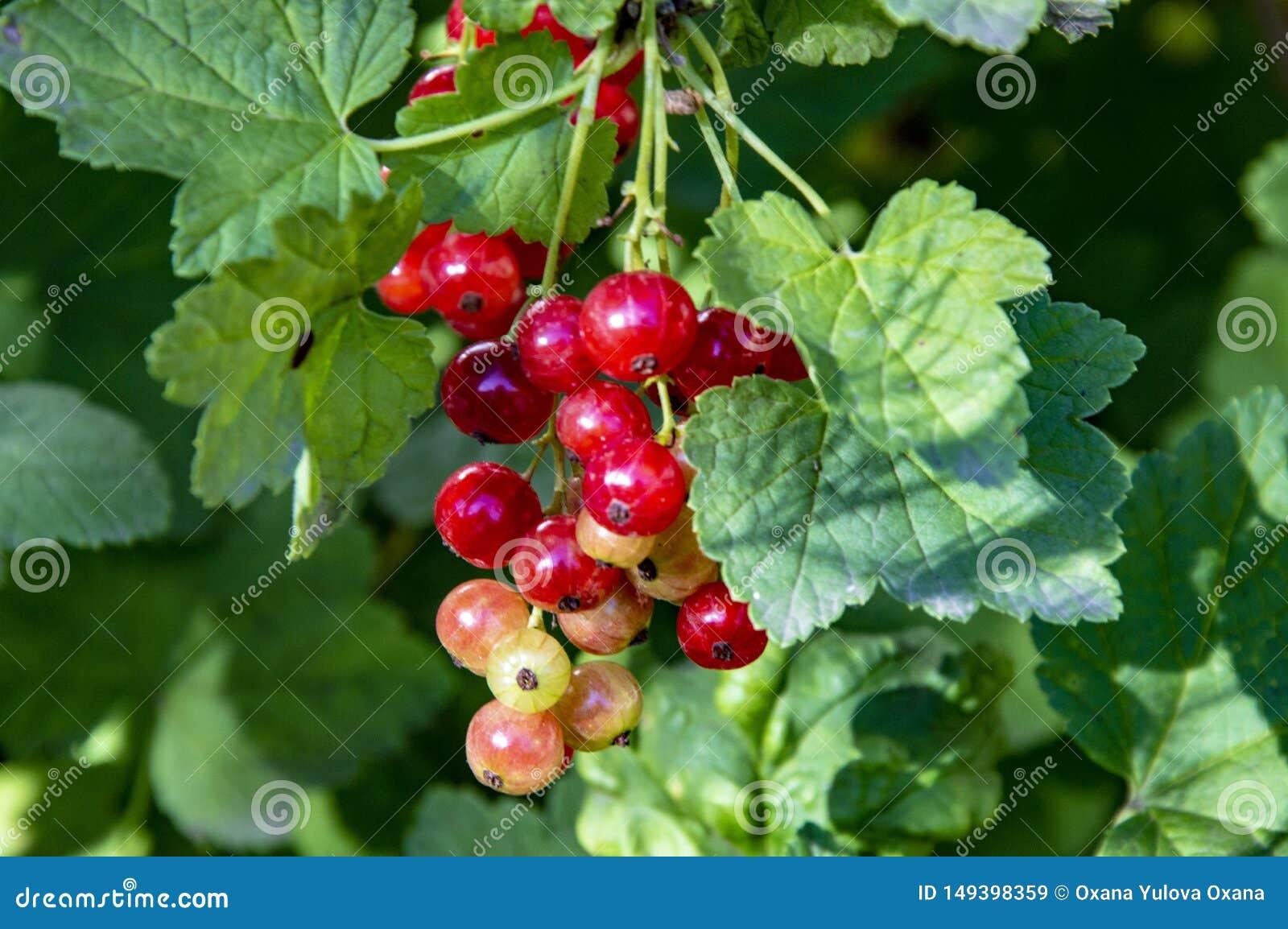 Red currant berries macro