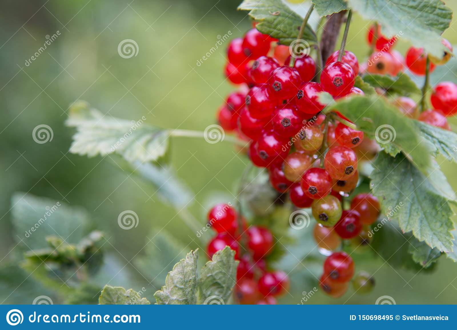 Red Currant hanging on a bush in the fruit garden.