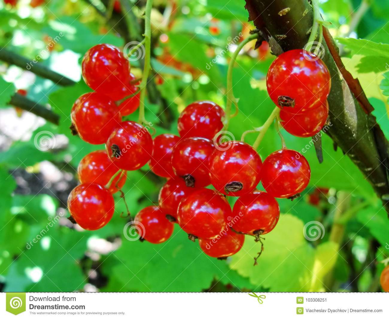 Summer bush with mature berries of a red currant. Fresh redcurrant fruit in the garden.