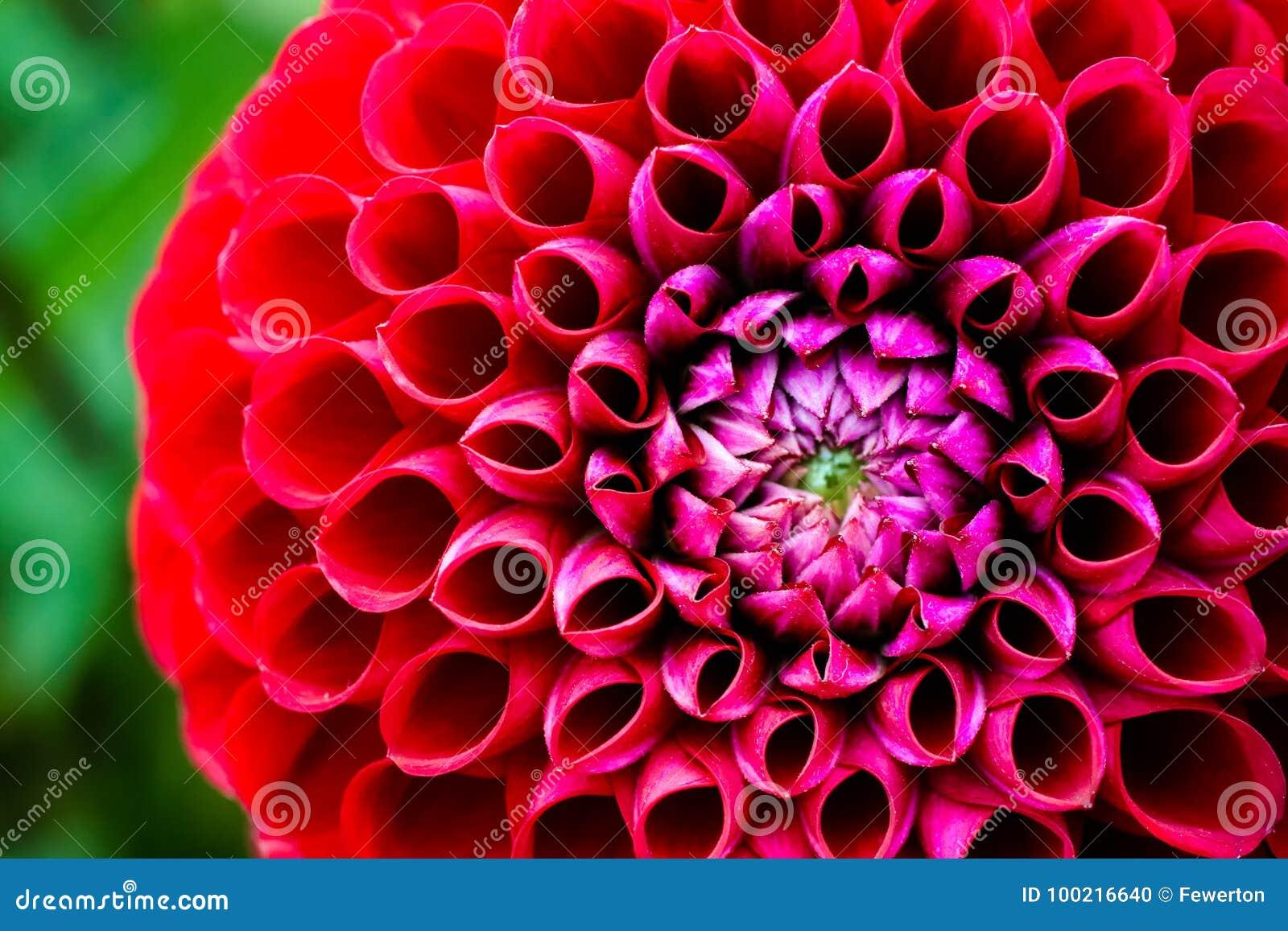 Red Dahlia Flower Stock Photo Image Of Ball Light 100216640