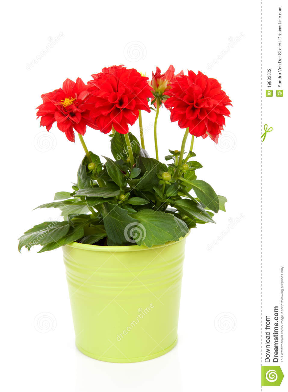 Red Dahlia Flower In Green Pot Stock Photo Image Of Isolated Bloom 19882322